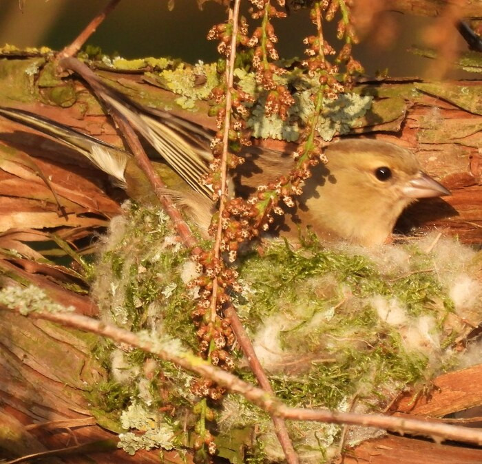 Een vink zit in zijn zonnige nest in het Henri Dunantpark in Eindhoven (lezersfoto).
