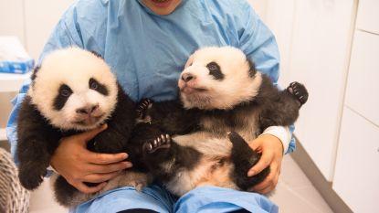 Babypanda's Pairi Daiza heten 'Bao Di' en 'Bao Mei'