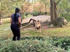 Dierentuin woest op dansende vrouw die leeuw treitert: 'Ze had dood kunnen gaan'