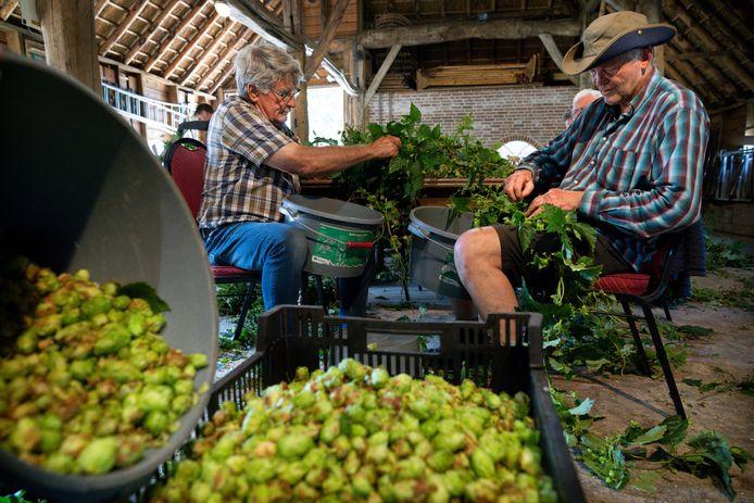 De hopbellen worden van de planten gehaald bij de Schaapskooi in Schijndel. Foto links Nan Visser en rechts Huub Lackamp.