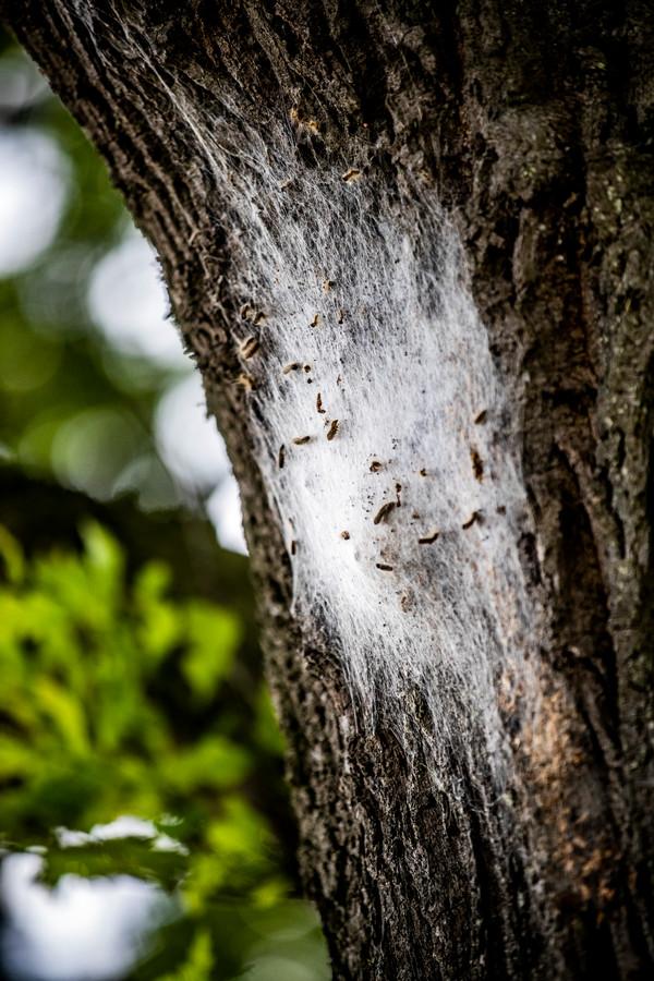 De eikenprocessierups heeft haartjes, die bij contact met de huid jeuk veroorzaken.