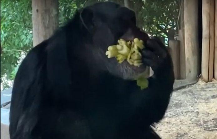 Kumi propt de selderij in zijn bek.