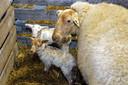 Twee van de lammetjes die dit weekend geboren zijn in Schaapskooi Schijndel.