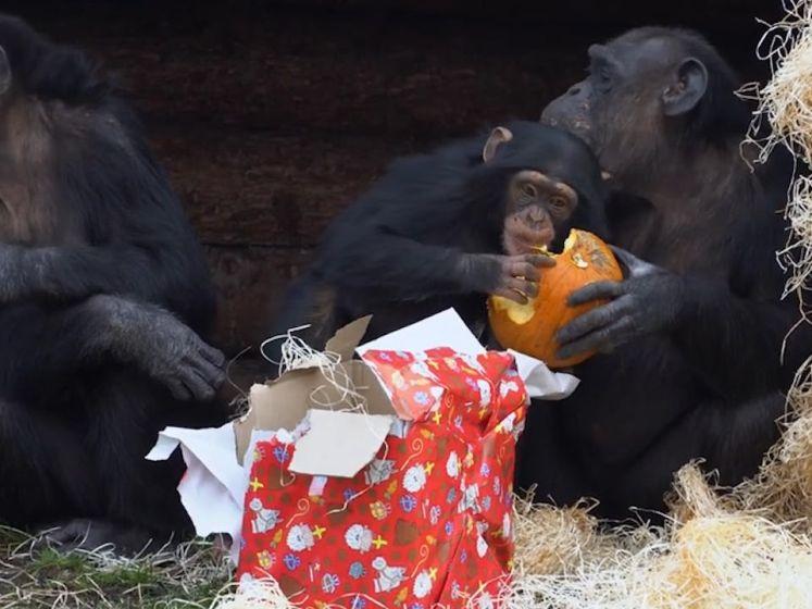 Chimpansees in Dierenrijk worden verrast door Sinterklaas