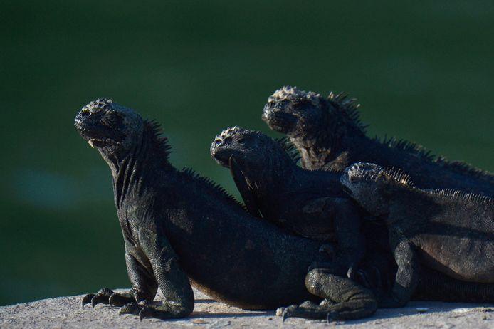 Een groep iguanas in het Galapagos National Park.