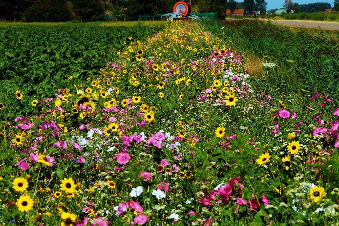 De randen van de akkers in Zuidland staan vol met prachtige bloemen. Het is nog maar de vraag of dat na 2023 nog steeds het geval is.