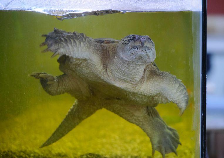 Pas op voor de 'Snapping schildpad' met een bijtkracht van 1200 kilogram.  Beeld Sjaak Verboom