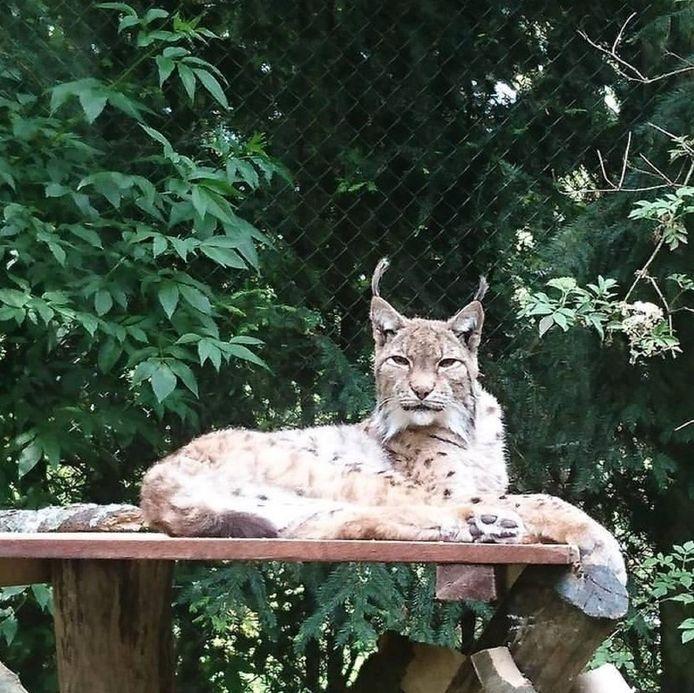 Kyra de lynx werd 24 jaar oud.
