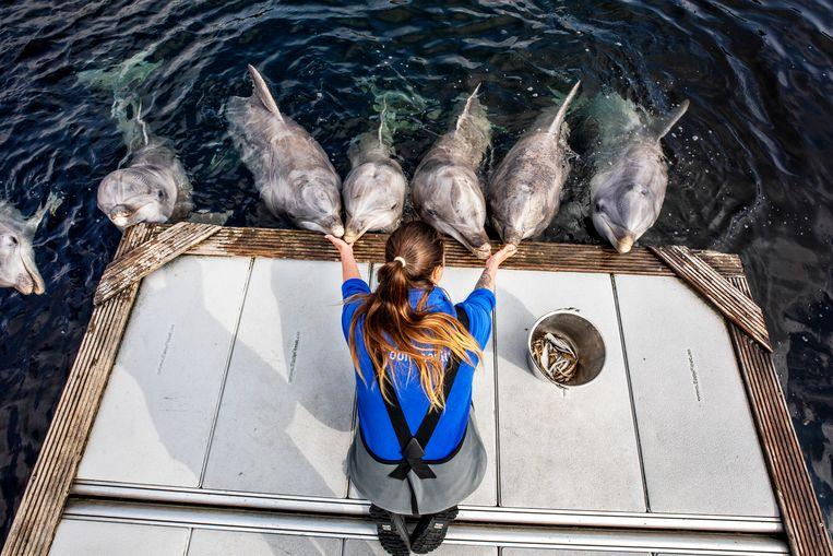 Zeven tuimelaars van het Dolfinarium in Harderwijk tijdens het voedingsuurtje met verzorger Jasmijn. Beeld Raymond Rutting / de Volkskrant