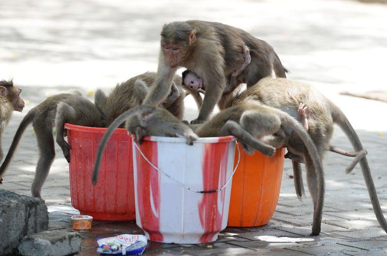 Apen drinken uit emmers water in een park in Chennai, India. Beeld AFP