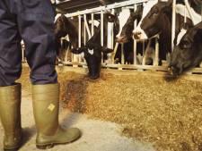 Juridische strijd over vergunning 900 koeien in Schaijk na tien jaar nog niet klaar