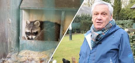 Tweede 'Vughtse wasbeer' is verwaarloosd; het mannetje is overgebracht naar een opvang in Someren