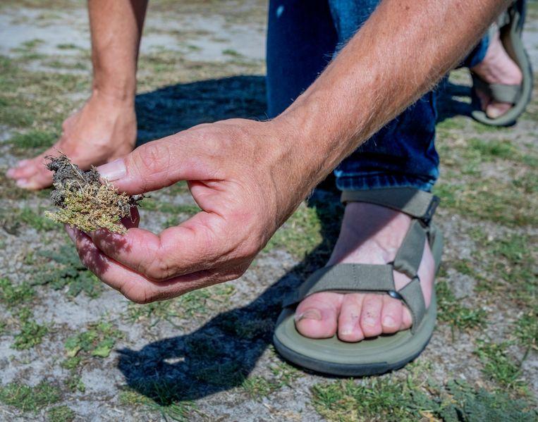 Botanist Sipke Gonggrijp bezocht ruim 170 campings, van Ameland tot Cadzand, op zoek naar bijzondere plantensoorten. Beeld Patrick Post