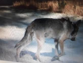 Bloedspoor zorgt voor ongerustheid over wolvenkoppel Naya en August