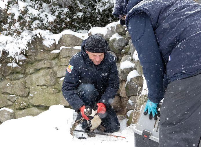 Verzorgers van Burgers' Zoo vangen pinguïns en plaatsen ze tijdelijk bij een warme kachel.