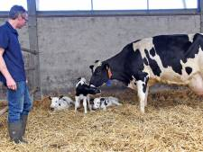 Zeldzaam én heel schattig: koe krijgt drieling in Terhole