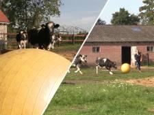 Video van de Dag | Deze sportieve koeien trappen een balletje, maar of ze talent hebben...?