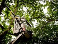Steenwijkerland kampt met groeiend aantal eikenprocessierupsen