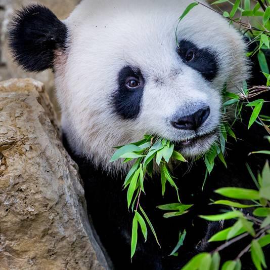De reuzenpanda's Xing Ya en Wu Wen worden verzorgd door Brenda van Ekeren. Het is haar droombaan.