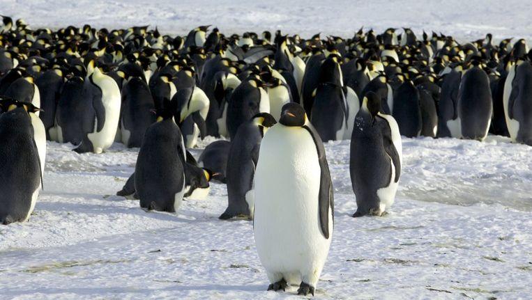 Keizerpinguïns op Antarctica. (nb: Gingrich werd gebeten door een magelhaenpinguïn, een kleinere pinguïnsoort) Beeld reuters