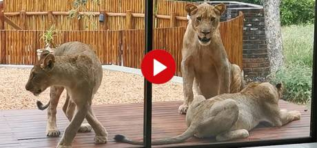 Video van de Dag   Kom je thuis, ligt je veranda vol met... leeuwen!