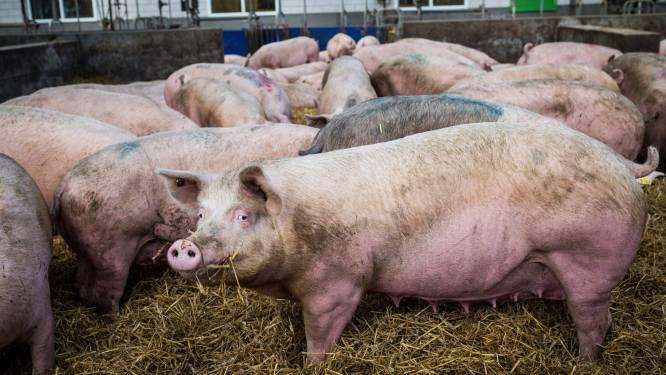 Delhaize geeft varkensboeren tijdelijk 1,5 euro extra per varken