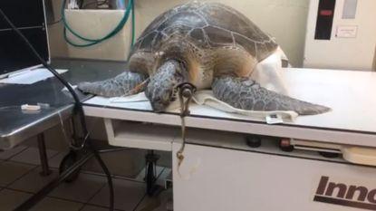 Zeeschildpad in Florida als bij wonder gered nadat het dier werd aangetroffen met speer in haar nek