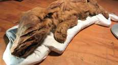 fotoreeks over Spectaculaire dierenmummies uit ijstijd ontdekt