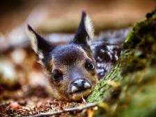 Bambi maar dan in het echt: wildcamera Krimpenerwaard vangt pasgeboren reetje op beeld