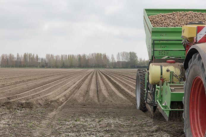 Archieffoto: aardappelruggen in de Wilhelminapolder bij Goes.
