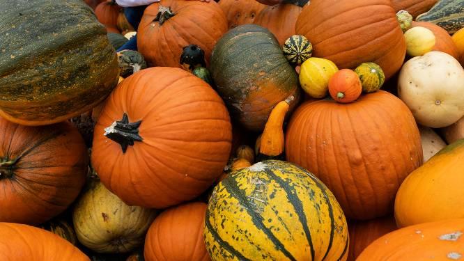 Halloween-pompoen uitzoeken in Groessen: 'Een prima oogst'