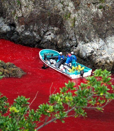 Triste record de dauphins tués dans la baie de Taiji