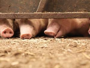Un éleveur de cochons dévoré par ses bêtes