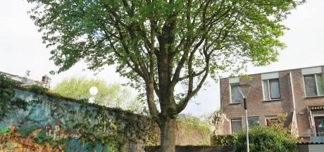Plan boomkap Bodehof schiet in verkeerde keelgat: 'Dit is een zeer gezonde esdoorn'