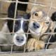 Dierenbescherming vindt 56 verwaarloosde honden die in eigen uitwerpselen leven