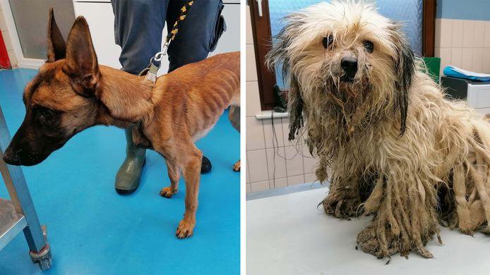 Deux chiens ont été repris par la SPA de Charleroi dans un état lamentable