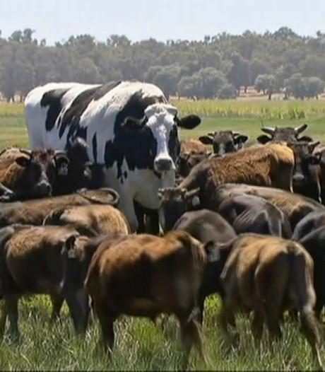 Kolossale Knickers bewijst: formaat doet er wel degelijk koe... eh, toe