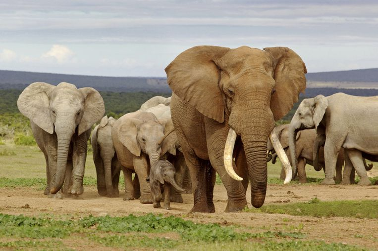 Een kudde Afrikaanse olifanten.
