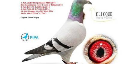 Duurste duif ooit verkocht voor €360.000