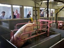Politiek en buren willen geen varkens meer op VIC-terrein Sterksel