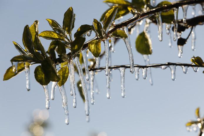 Een laagje ijs beschermt fruitbomen tegen de vorst.