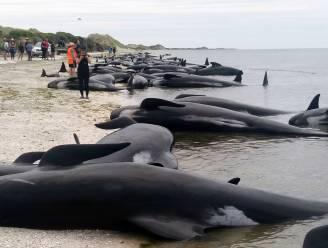 Mysterie: honderden walvissen in Nieuw-Zeeland gestrand