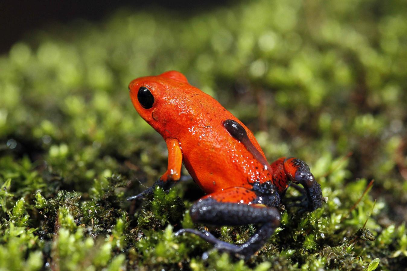 Een opvallend gekleurde kikker in de jungle van Costa Rica.