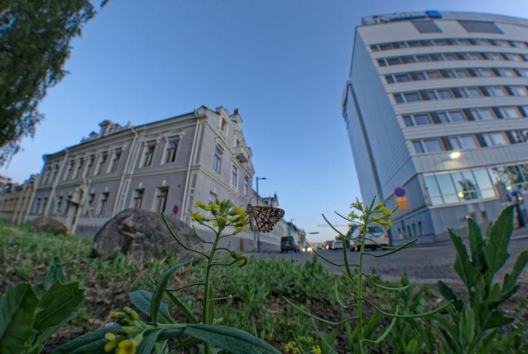 De klaverspanner doet het uitstekend in een stedelijke omgeving.  Beeld Sami Kivelä