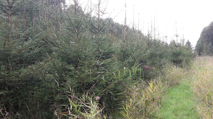 Kerstbomen in het Kuinderbos. Afbeelding ter illustratie.