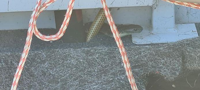 De tijgerslang zat verscholen in het vissersbootje van de 80-jarige Bob Thatcher.