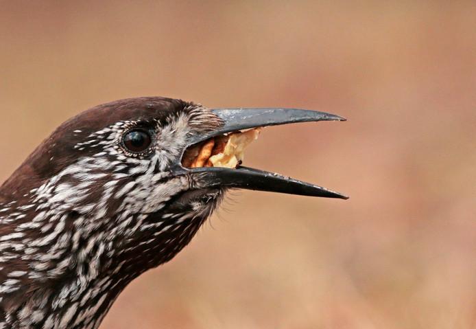 De notenkraker doet zijn naam eer aan: na het kraken verdwijnt de walnoot in de stevige snavel.