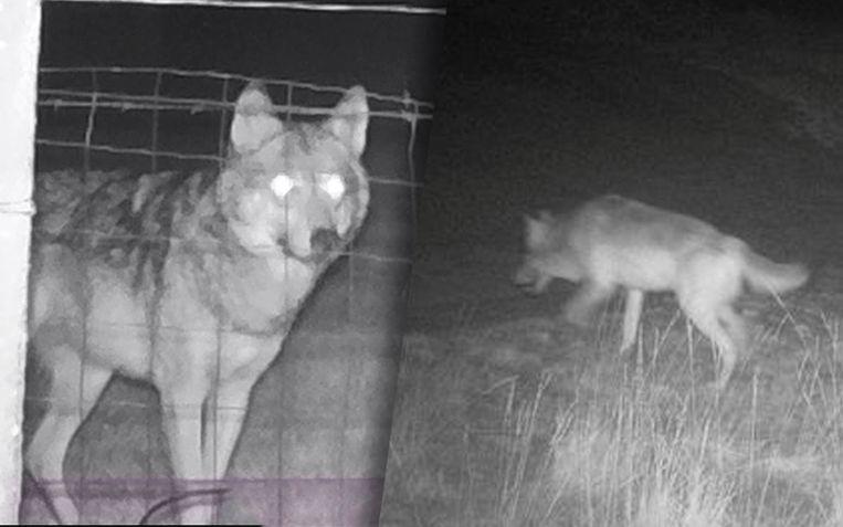 Wolf August (links) en wolvin Noëlla zijn aan het daten. Beeld Welkom Wolf