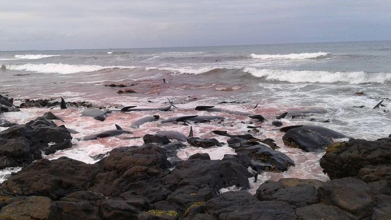 Dode walvissen zijn aangespoeld tegen de rotsen van Chatham Island. Beeld REUTERS