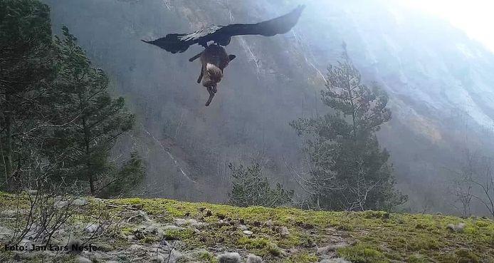 Scène incroyable d'un aigle qui s'empare d'un renard et s'envole.
